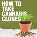 Het maken van cannabis klonen