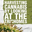 Het oogsten van cannabis door de trichomen te beoordelen