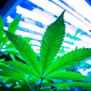 Met LEC-Lampen Cannabis Kweken