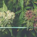 Hoe Kweek Je Paarse Cannabis?