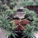Hoe werkt main-lining bij cannabis?