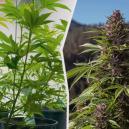Cannabisplanten van binnen naar buiten verplaatsen