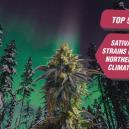 De 5 beste sativasoorten voor noordelijke weersomstandigheden