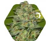 Green Monster Autoflowering