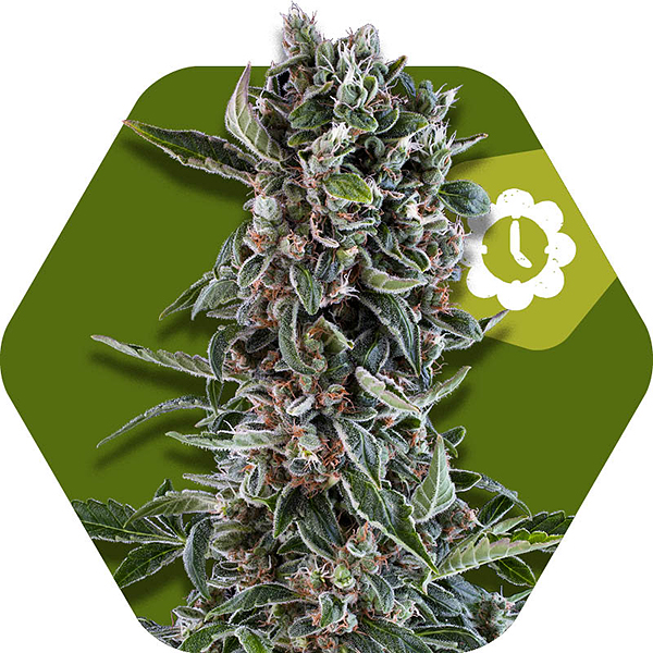 blueberry cheese autoflowering cannabis strain