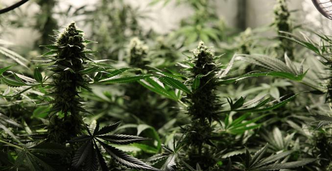 C02 cannabisgewas