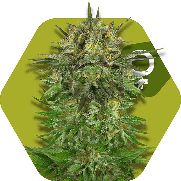 Blue Brilliant Cannabis strain