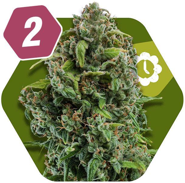 NYC Diesel Autoflowering Sativa Cannabis Seeds