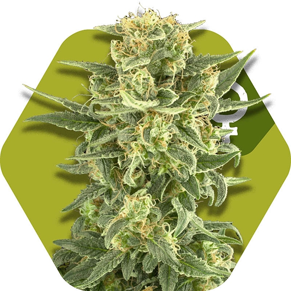 White Cheese Fast Flowering Gefeminiseerde Cannabis Zaden
