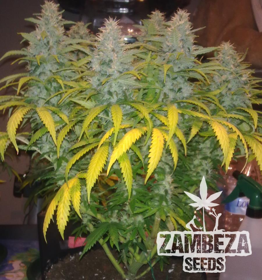 White Widow XL Marijuana Plant
