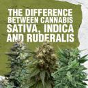 Het verschil tussen Cannabis Sativa, Indica en Ruderalis