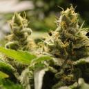 Top 5 Gemakkelijk Te Kweken Autoflowering Cannabissoorten