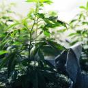 De Vegetatieve Fase Van Cannabis