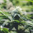 De Bloeifase Van Cannabis
