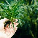 Wat Moet Je Doen Als Je Zelfgekweekte Cannabisplanten Niet W