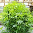 Hoe Voorkom Je Dat Je Cannabisplanten Binnen Te Groot Worden