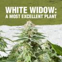 White Widow: een voortreffelijke plant