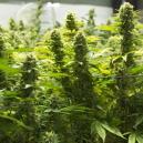 De Beste Manieren Om De Opbrengst Van Je Cannabis Te Verhoge