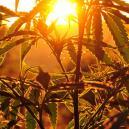 Buiten Cannabis Kweken: Hoeveel Zonlicht Hebben Planten Nodi