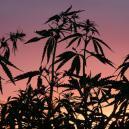 Het Belang Van De Donkere Cyclus Voor Cannabis