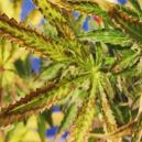 De Oorzaak en Preventie Van Droge Cannabis Bladeren