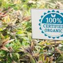Organische Ongediertebestrijding Voor Cannabisplanten