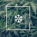 Wiet kweken in koud weer
