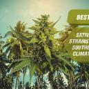 De beste sativa cannabisvariëteiten voor zuidelijke klimaten