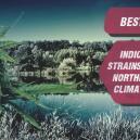 Beste indica cannabissoorten voor noordelijke klimaten