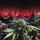 De meest productieve cannabis soorten van Zambeza