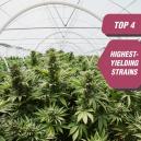 Top 4 hoogproductieve cannabissoorten van Zambeza