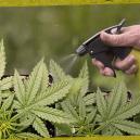 Hoe en waarom bladvoeding voor je cannabisplanten gebruiken?