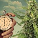 Lichtschema's voor autoflowering cannabisplanten