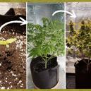 Groeifases van de cannabisplant