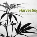 Je cannabis oogsten, wanneer is het juiste moment?