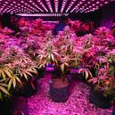 Cannabis kweken: 5 tips voor LED kwekers