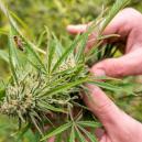 Wat Veroorzaakt Stress in een Cannabisplant?