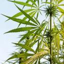 De anatomie van een cannabisplant