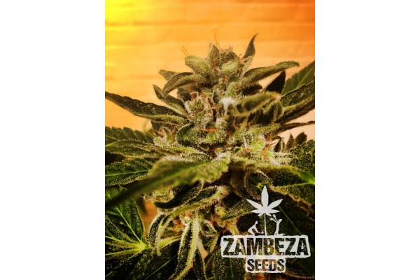 Candy Carmelo Autoflowering